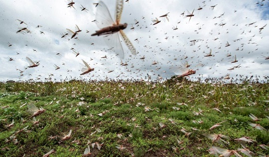 Locuste e clima: un pericoloso connubio